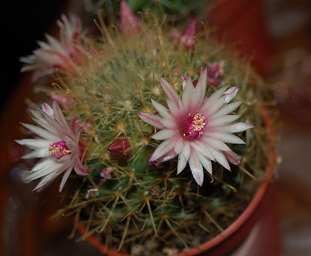 Desert_flower
